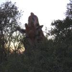 Naval Hill - Giraffe